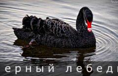 Черный лебедь - что это такое и влияние на экономику и инвестиции